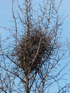 bird's nest nest tree