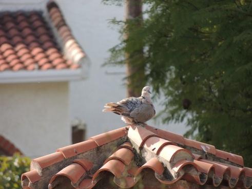 birds pigeons animals