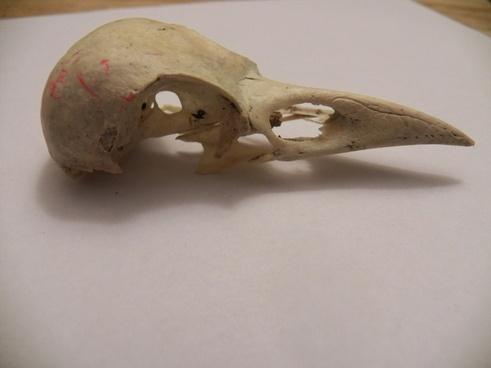 birds skull