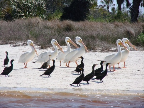 birds white pelican cormorant