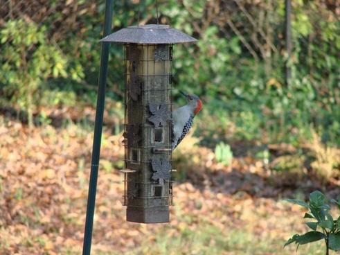 birds woodpecker animal