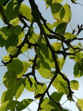 birnbaum leaves pear orchard