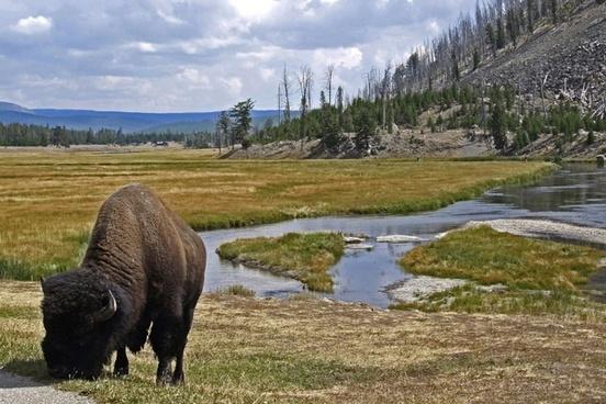 bison graze animal