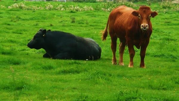 black and brown bull