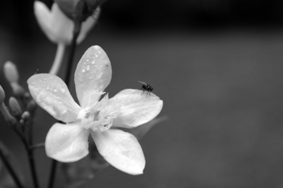 black and white flower background 2