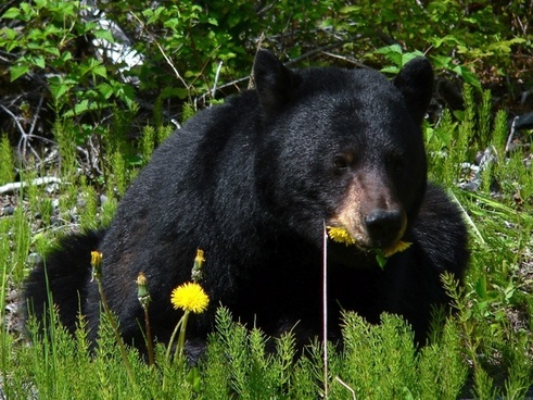 black bear glacier bay alaska