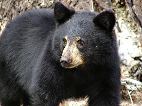 black bear mammal