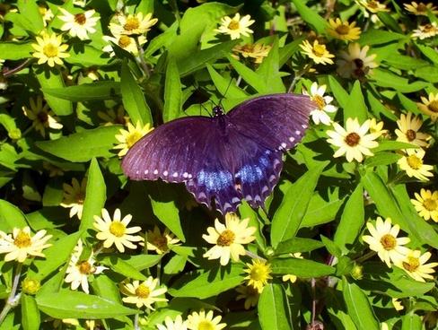 black butterfly flowers