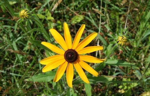 black eyed susan yellow daisy wild flower