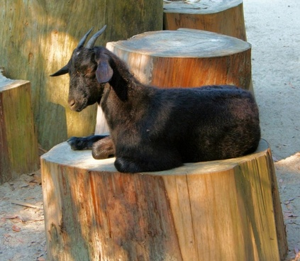 black goat sleepy resting