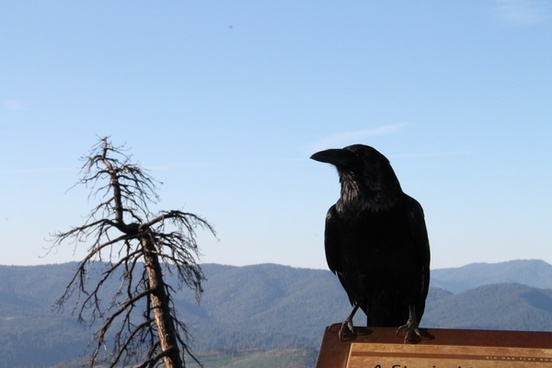 black raven perched next to dead tree