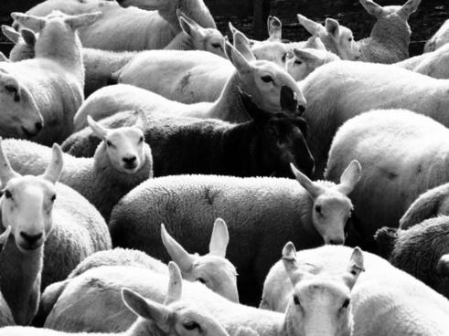 black sheep sheep wool