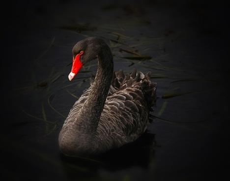 black swan lake pupuke cygnus atratus