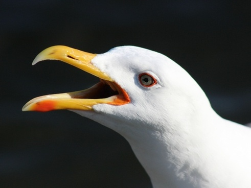 black-backed gull seagull bird