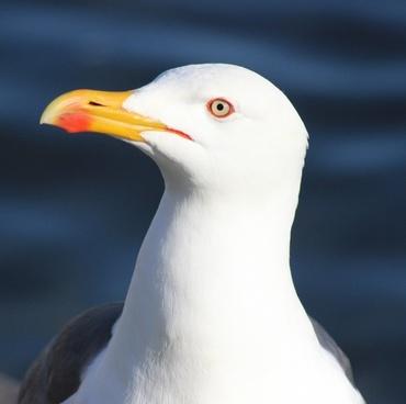 black-backed gull seagull bird