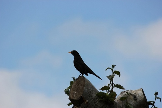 blackbird on a tree top