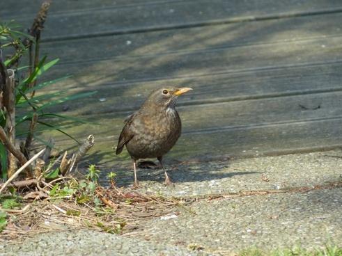 blackbird turdus merula true