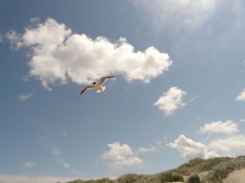black-headed gull fly flight