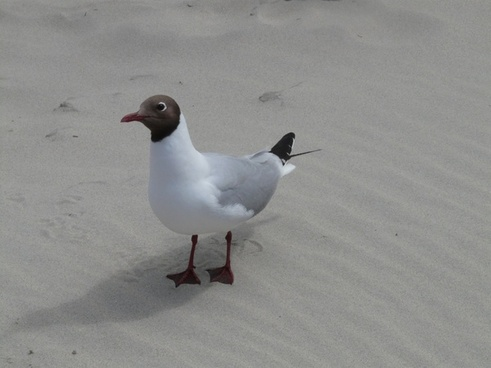 black-headed gull seagull bird