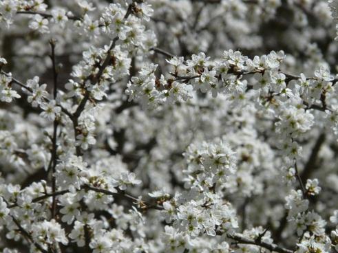 blackthorn prunus spinosa hedge