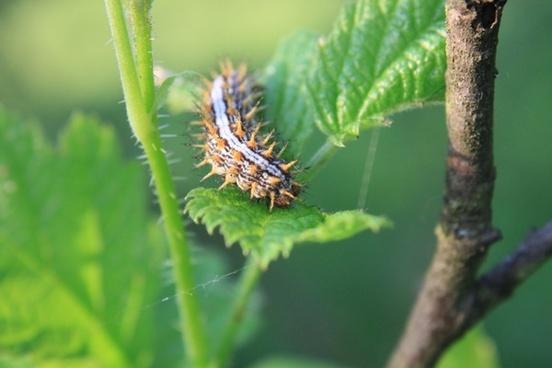 blade caterpillar grass