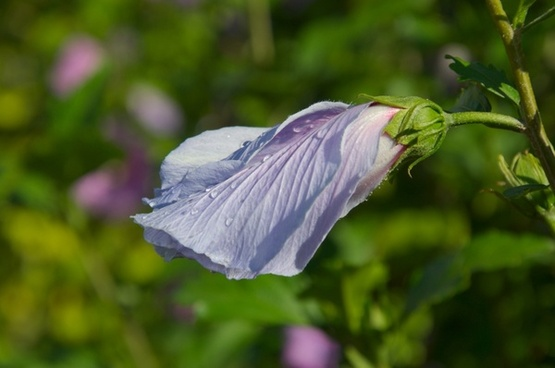 blassblau flower going up