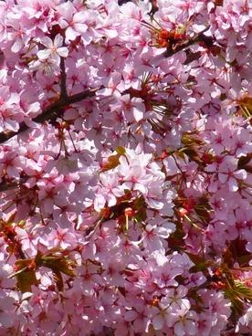 blood plum prunus cerasifera flower