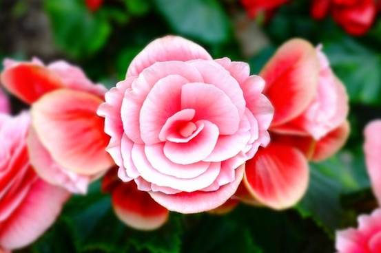 bloom blossom blur bright camellia color flora