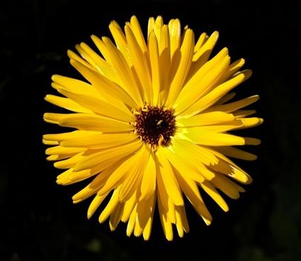 bloom blossom chrysanthemum color dandelion detail