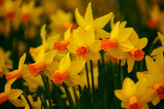 Daffodils free stock photos download 133 free stock photos for blooming daffodils fandeluxe Choice Image