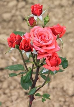 blooms flowers pink