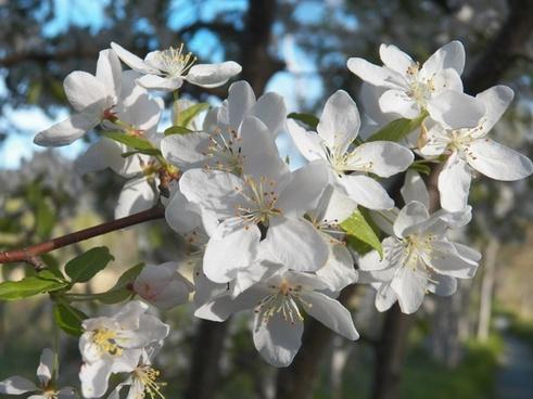 blossom blossoms buds