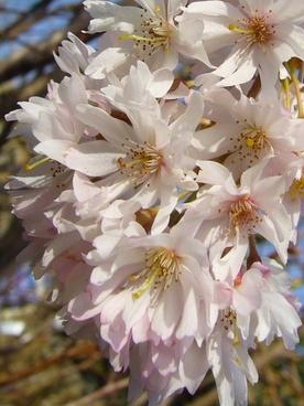 blossom spring delicate