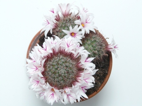 blossoming wreath cactus white
