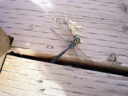 blue and green dragonfly