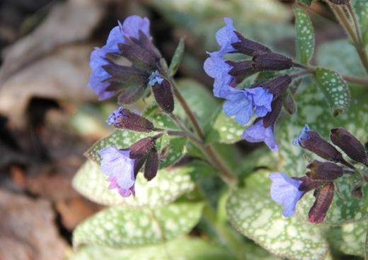 blue blossom sunbeam spring