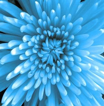blue chrysanthemum photoshop