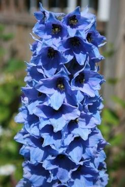 blue delphinium