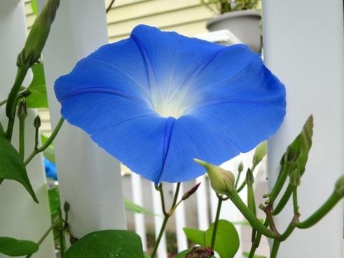 blue flower morning glory