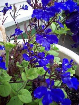 blue flowers in garden pot