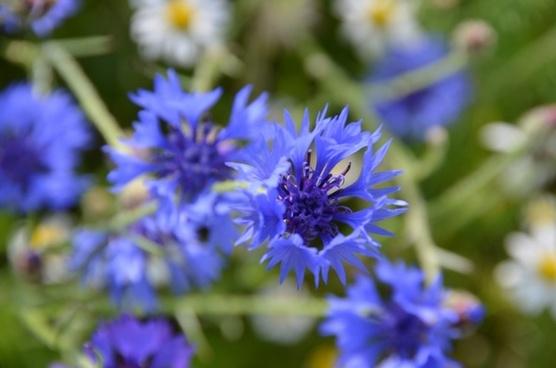 blue flowers meadow