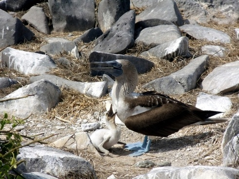 blue footed boobie amp baby
