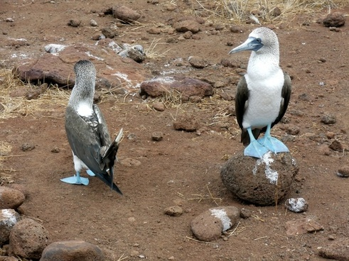 blue footed boobie mating dance