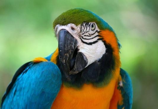 blue gold macaw parrott tropical bird