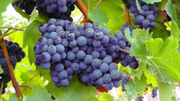 blue grapes fruit blue