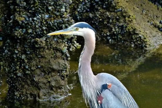 blue heron waterbird fischreiher