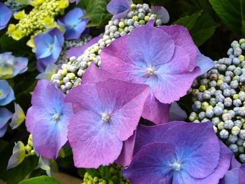 blue hydrangea blue flower hydrangeas