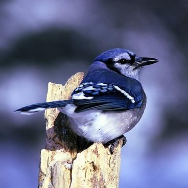 blue jay bird nature