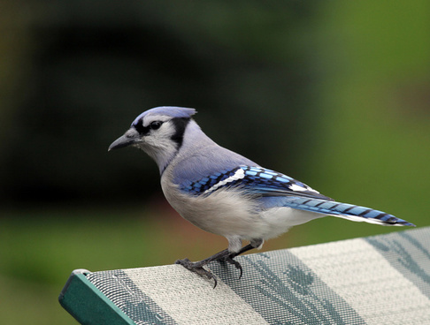 blue jay looking for a hand out