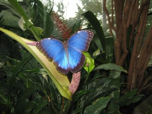 blue morpho peleides